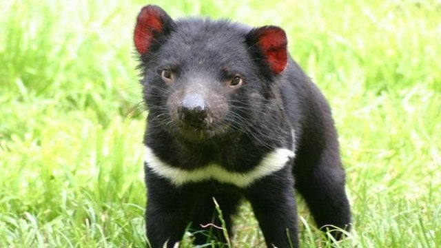 Tasmanian devils get their own private island, to save them from extinction