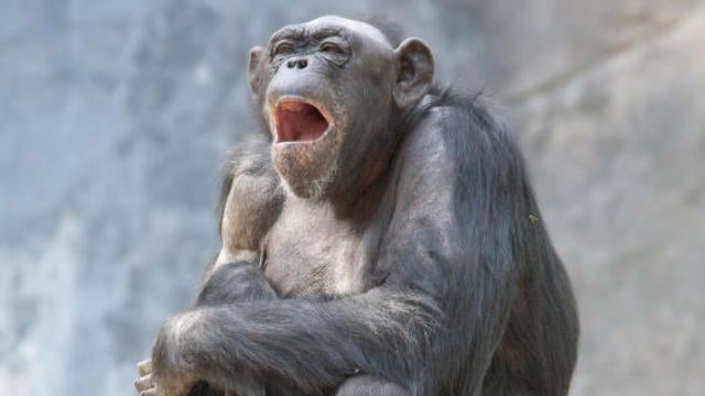 Chimpanzee yawning could explain human empathy