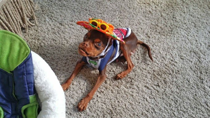 Walter the Miniature Pinscher Gets a Second Chance at Life