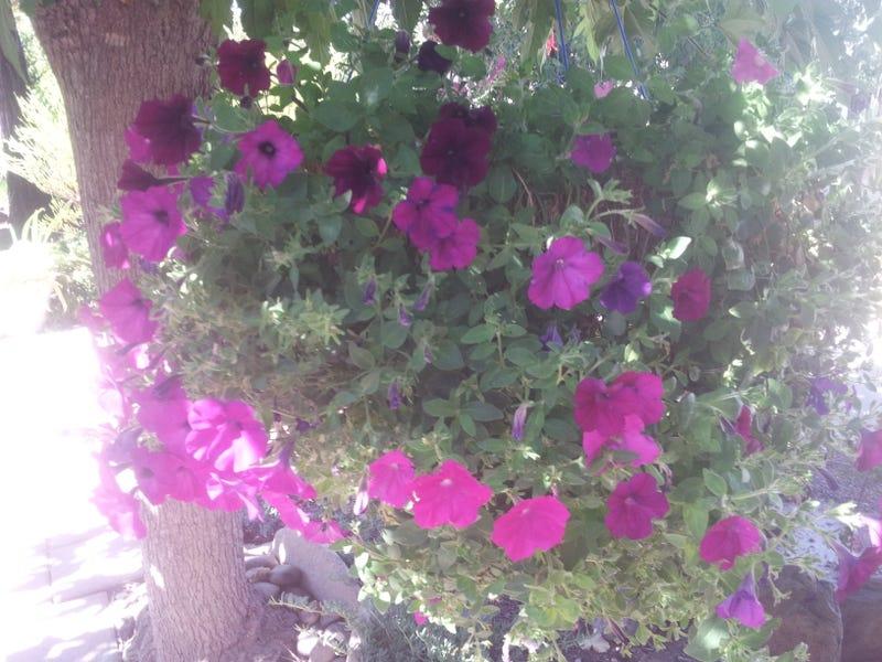 The Great Petunia Experiment: Week?