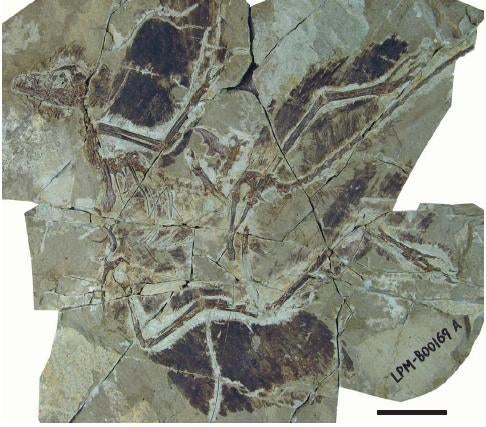 Scientists Discover Fossils of Feathered Dinosaur with Four Wings
