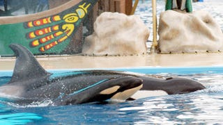 SeaWorld Officially Gives Up on Having Their Trainers Swim with Orcas