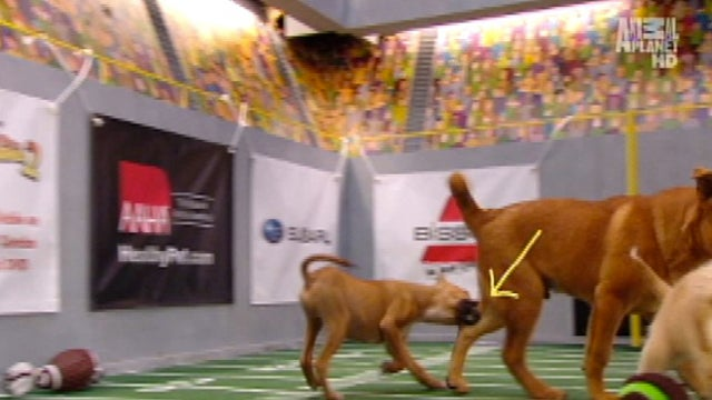 Your Obligatory, Adorable Puppy Bowl VII Highlights