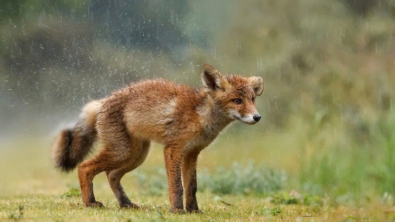 This red fox will make you feel the true power of cuteness