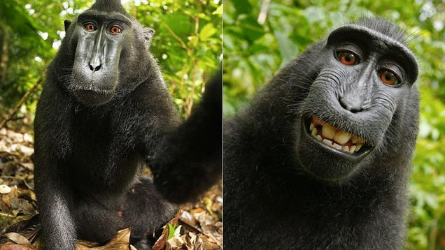 Wikimedia Won't Take Down This Photo Because a Monkey Owns the Copyright