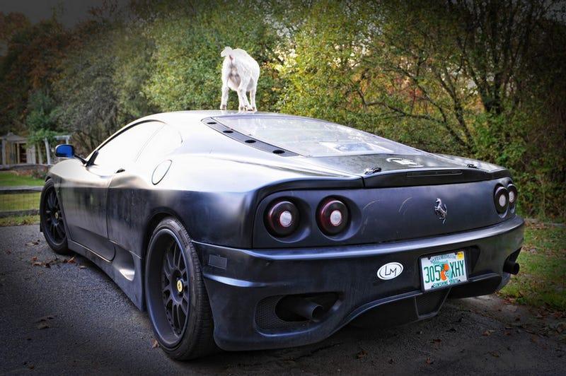 Damn Goats, Always Getting Their Hoof-marks On My Ferrari