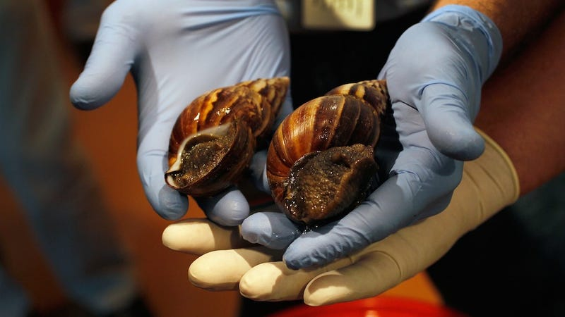 Hundreds of Thousands of Rat-Sized, House-Eating Snails Invade Florida