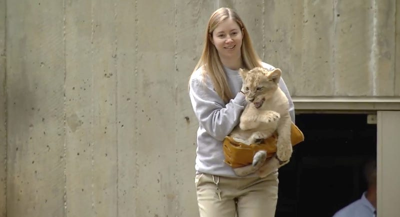 National Zoo Lion Cubs Pass Most Adorable Swim Test Ever