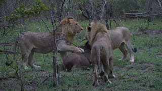 This Video of Lion Hunting is Killer