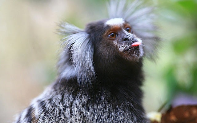 Marmosets Have Conversations That Sound Strikingly Human