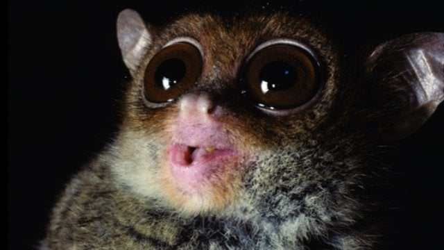 This Tiny Primate Squeaks Like a Bat