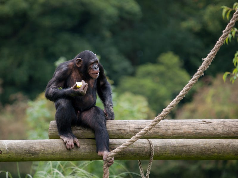 The Case for Ending Medical Research on Chimps
