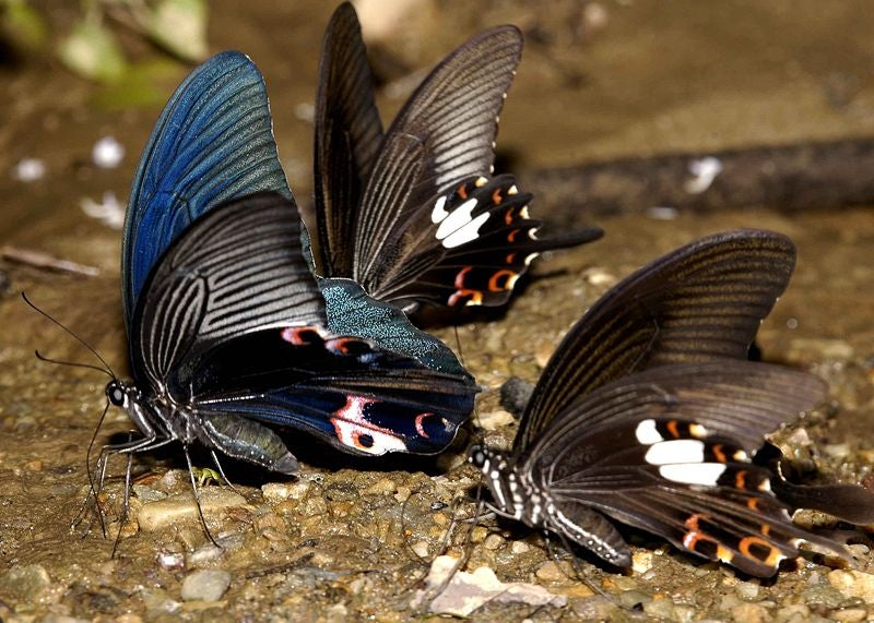 Mimicking butterfly wings could boost hydrogen fuel production