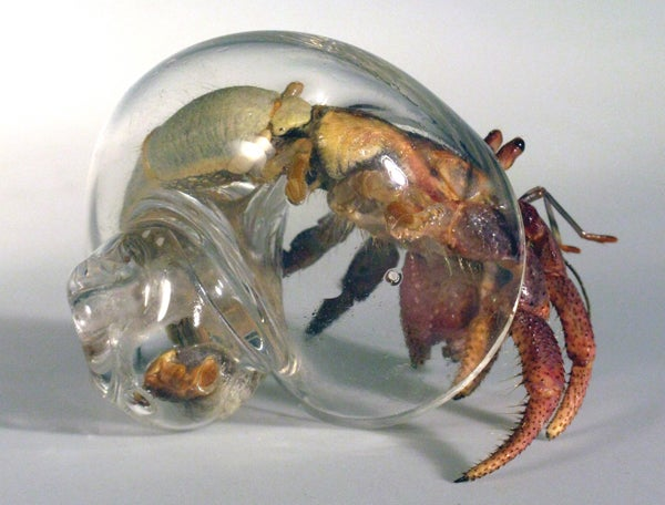 Glass shells let you see hermit crabs like you've never seen them before