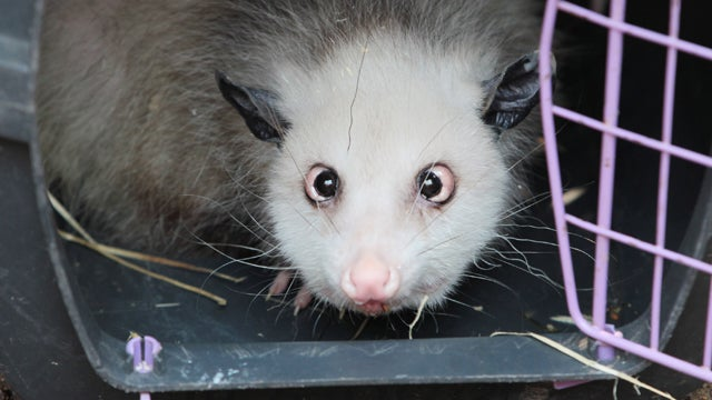 Heidi The Cross-Eyed Opossum Meets An Untimely End