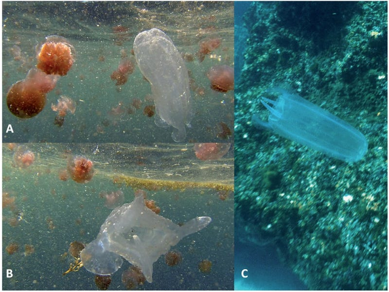 This Crazy Jellyfish Has No Tentacles, But Its Sting Is Nasty