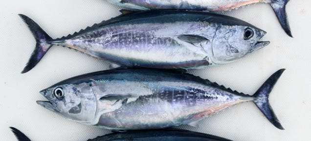 The Plan to Save Bluefin Tuna