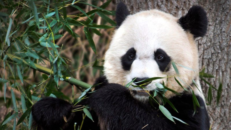 National Zoo Might Replace Famous Panda Because She Can't Get Knocked Up