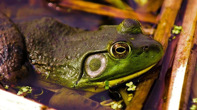What makes bullfrogs capable of jumping such huge distances?
