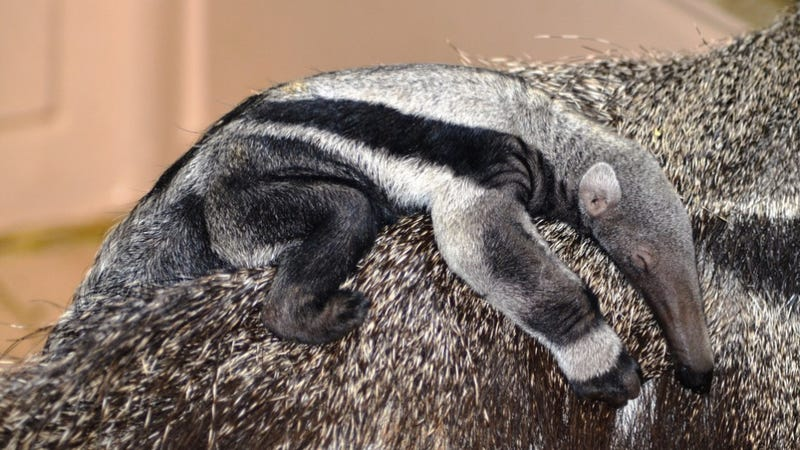 The Anteater Baby Jesus Forgives You For Touching Yourself