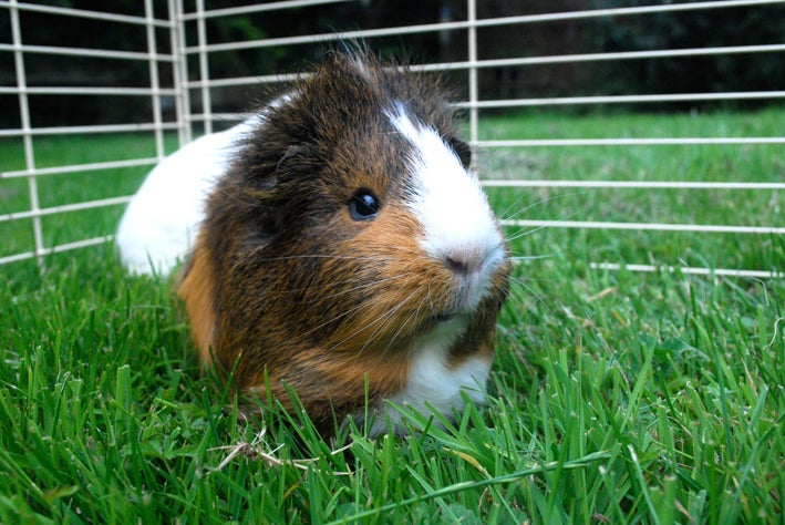 The guinea pig that proved we have an internal combustion engine