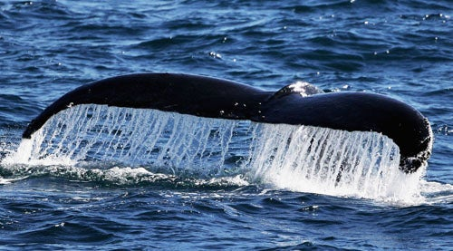 Female Humpback Sets Record For Longest Trip Made By A Mammal