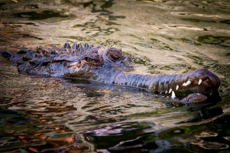 This Freshwater Crocodile Doesn't Eat The Way We Thought It Did