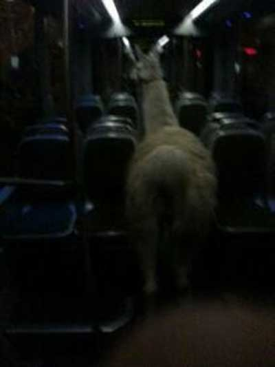 Drunk Dudes Steal Circus Llama, Take It on a Streetcar Joyride