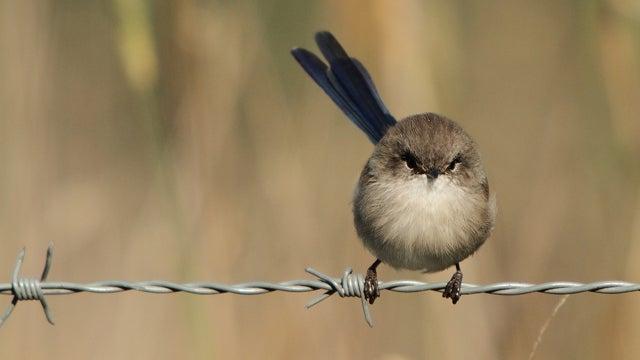 Fairy-wren chicks taught secret passwords to thwart dickish cuckoo birds