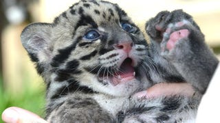Clouded Leopard Toe Beans Are As Cute As You'd Expect