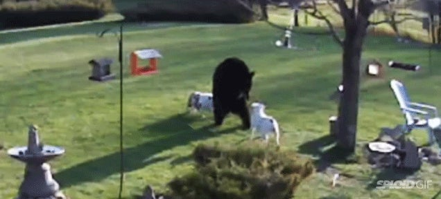 Fearless bulldogs confront a black bear