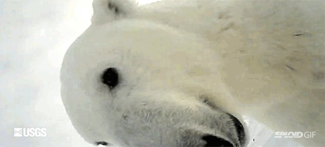 First-person point of view video recorded by a wild polar bear