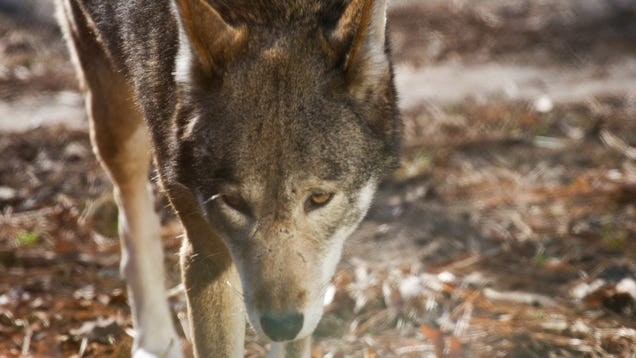America's Forgotten Wolf Still Lives In North Carolina
