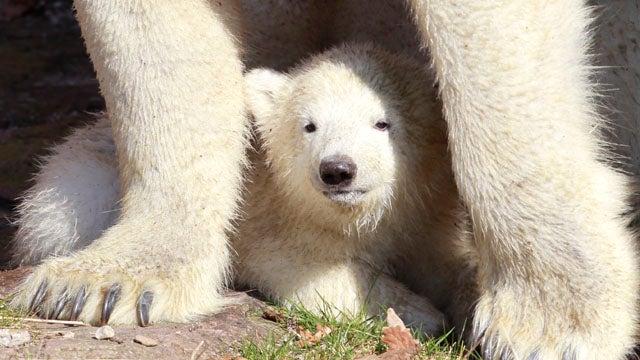 Polar Bear Cub Keeps Getting Underfoot