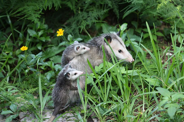 An Opossum May One Day Save You From a Deadly Snakebite