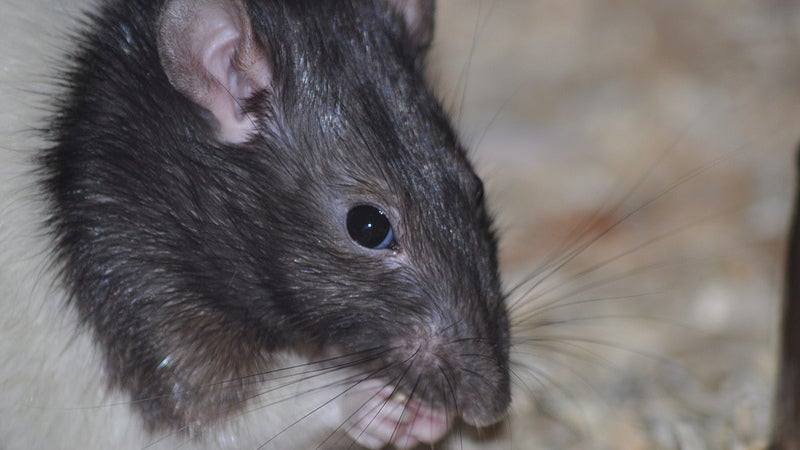 Rats Communicate With Each Other By... Sniffing