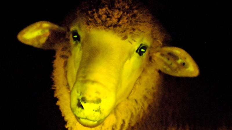 Scientists have engineered the world's first glow-in-the dark sheep