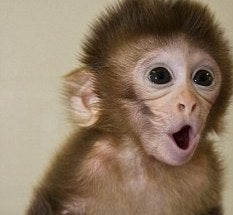 Monkeys Born Of Three Parents Usher In The Age Of The Super-Baby