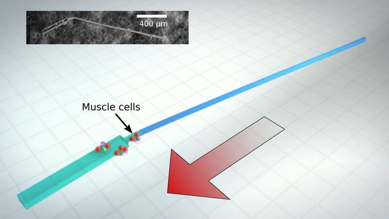 Heart Cells Power This Swimming, Sperm-Like Robot