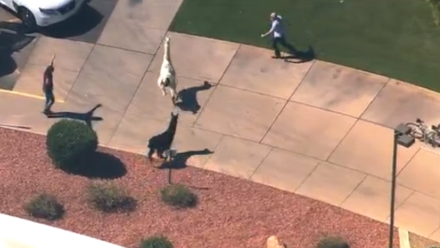 Watch Vine Highlights From Today's Incredibly Thrilling Llama Chase