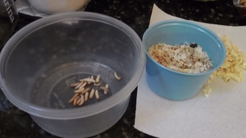 I ate fried caterpillars—and so can you