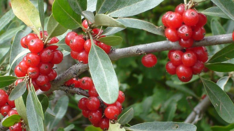 Blueberry Bush Types
