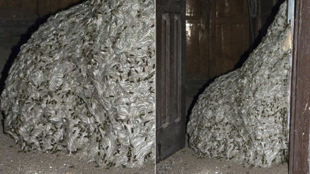 Holy Hell, A Giant 22 Foot Wasp Nest Is the Most Terrifying Thing