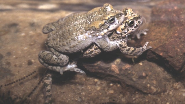The bizarre toad that's part clone, part lover, and all hybrid