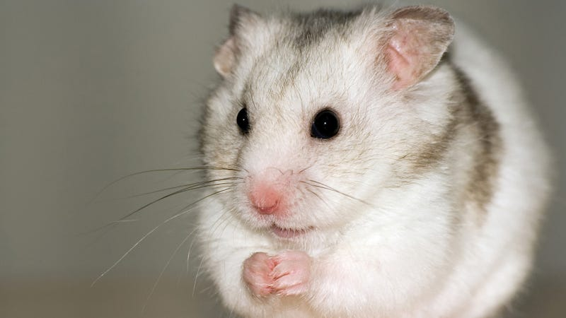 Eating Yogurt Turns Mice into Giant-Balled Seduction Machines
