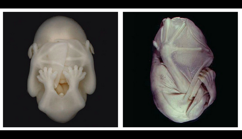 This Bat Embryo Is the Craziest Thing We've Ever Seen (and We've Seen Hulk Hogan's Crazy-Ass Sex Tape)