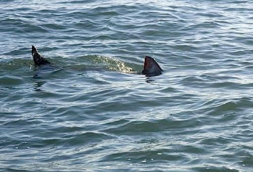 Shark Sighting at Rockaway Beach Brings Out the Best in the New York Post