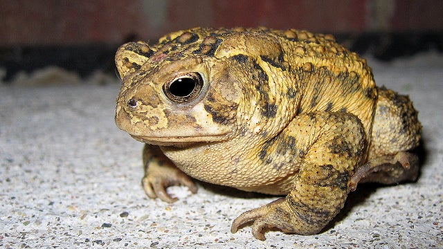 Forget Seismologists: We Should Be Using Toads to Predict Earthquakes