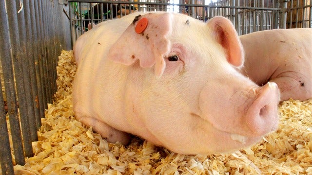 Who's Stealing America's Pigs?