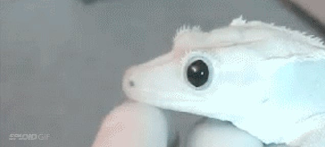 Watching a gecko's pupils contract and dilate is weirdly satisfying